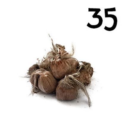 35 bulbi crocus sativus 9-10