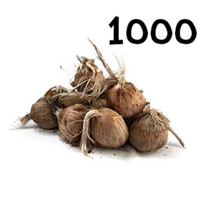 1000 bulbi crocus sativus misura 10-11