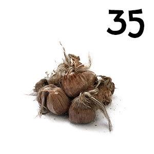 50 bulbes crocus sativus calibre 9-10