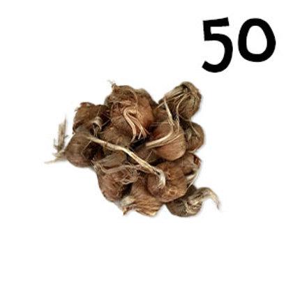50 bulbi crocus sativus misura 8-9