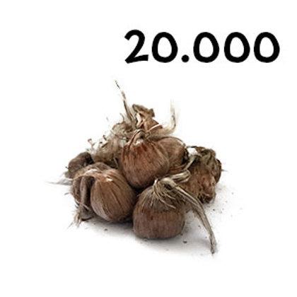 20000 bulbi crocus sativus misura 9-10