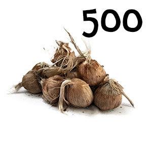 500 bulbes crocus sativus calibre 10-11