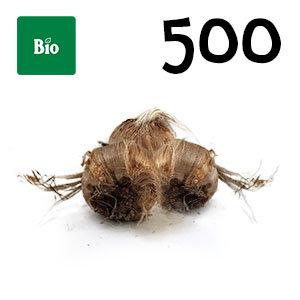 500 bulbes biologique crocus sativus calibre 8-9