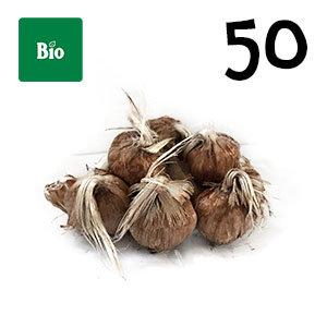 50 bulbes biologique crocus sativus calibre 9-10