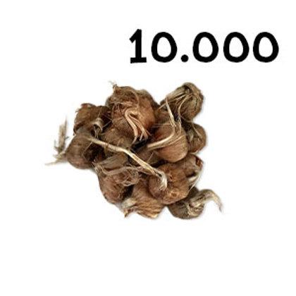 10000 bulbi crocus sativus misura 8-9