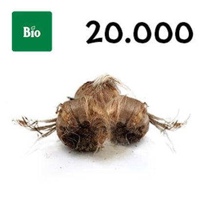 20000 bulbi bio crocus sativus misura 8-9