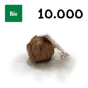 10000 bulbes biologique crocus sativus calibre 11+