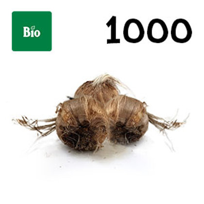 1000 bulbi bio crocus sativus misura 8-9