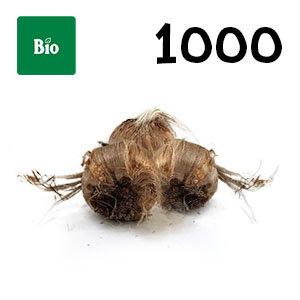 1000 bulbes biologique crocus sativus calibre 8-9