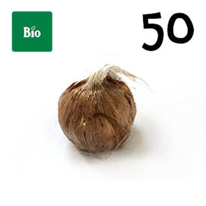 50 bulbi bio crocus sativus misura 7-8