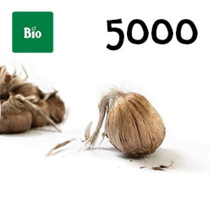 5000 bulbi bio crocus sativus misura 10-11