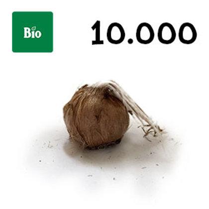 10000 bulbi bio crocus sativus misura 11+