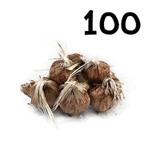 100 bulbes crocus sativus calibre 7-8