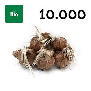 10000 bulbes biologique crocus sativus calibre 9-10