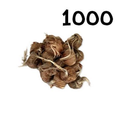 1000 bulbi crocus sativus misura 8-9