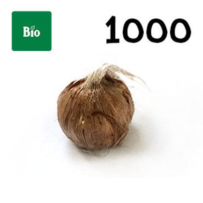1000 bulbi bio crocus sativus misura 7-8