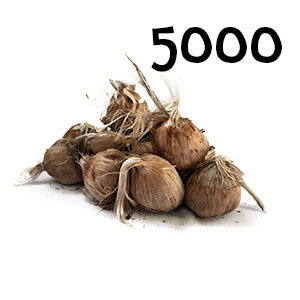 5000 bulbes crocus sativus calibre 10-11