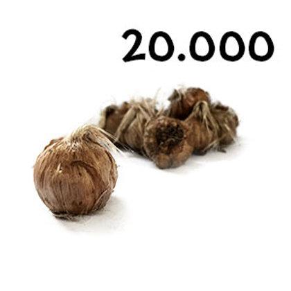 20000 bulbi crocus sativus misura 11+