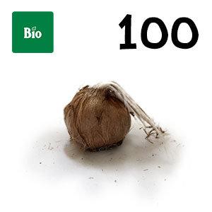 100 bulbes biologique crocus sativus calibre 11+
