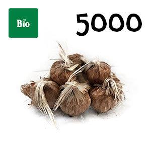 5000 bulbes biologique crocus sativus calibre 9-10