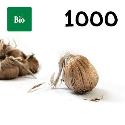 1000 bulbi bio crocus sativus misura 10-11