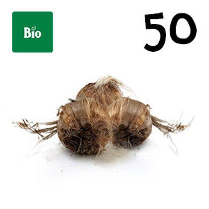 50 bulbi bio crocus sativus misura 8-9