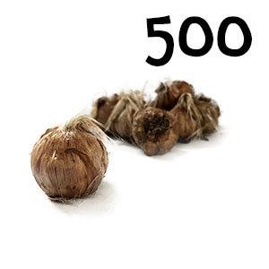 500 bulbes crocus sativus calibre 11+
