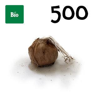 500 bulbes biologique crocus sativus calibre 11+