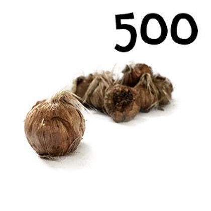 500 bulbi crocus sativus misura 11+