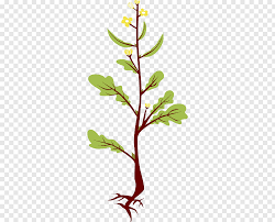 mustard plant.png