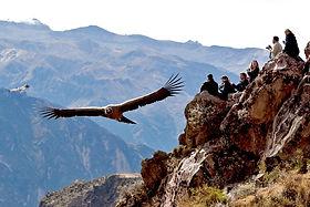 Vol du Condor a voir dans le Canyon de Colca