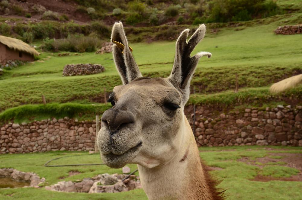 Découverte des camélidés du Pérou