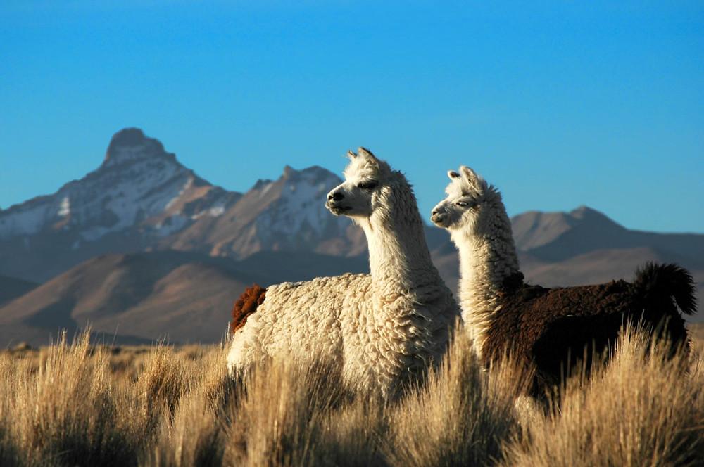 Pourquoi le lama crache-t-il ?