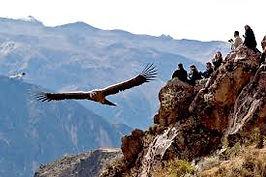Condor, Nasca, Canyon de Colca, découverte aventure du Pérou