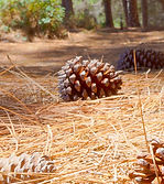 PINE-NEEDLES-Solution.jpg
