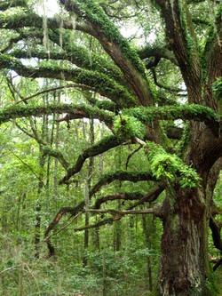 Resurrection fern, South Georgia