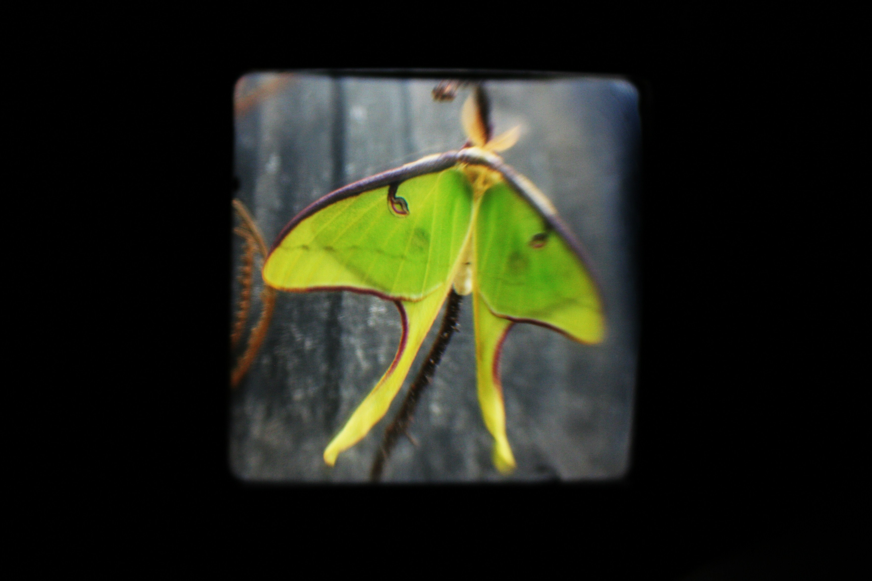 Luna Moth TtV