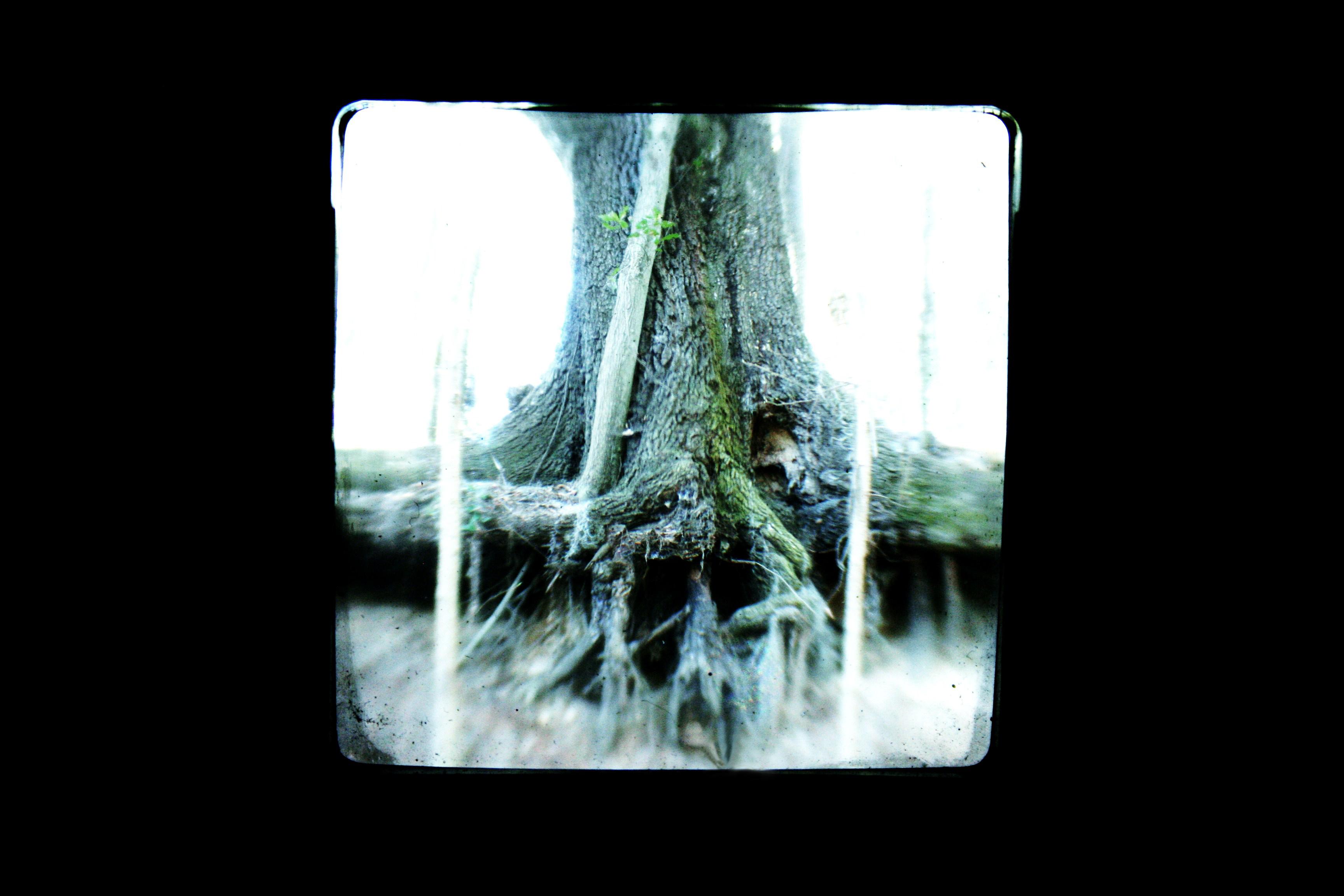 Oak tree TtV