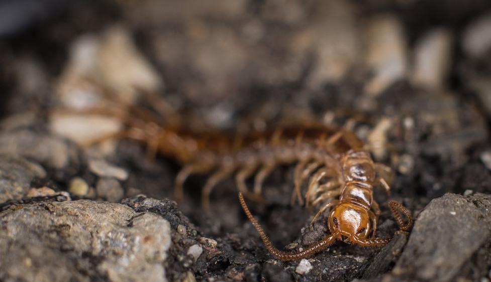 Centipede 4-4-19 (1 of 3).jpg