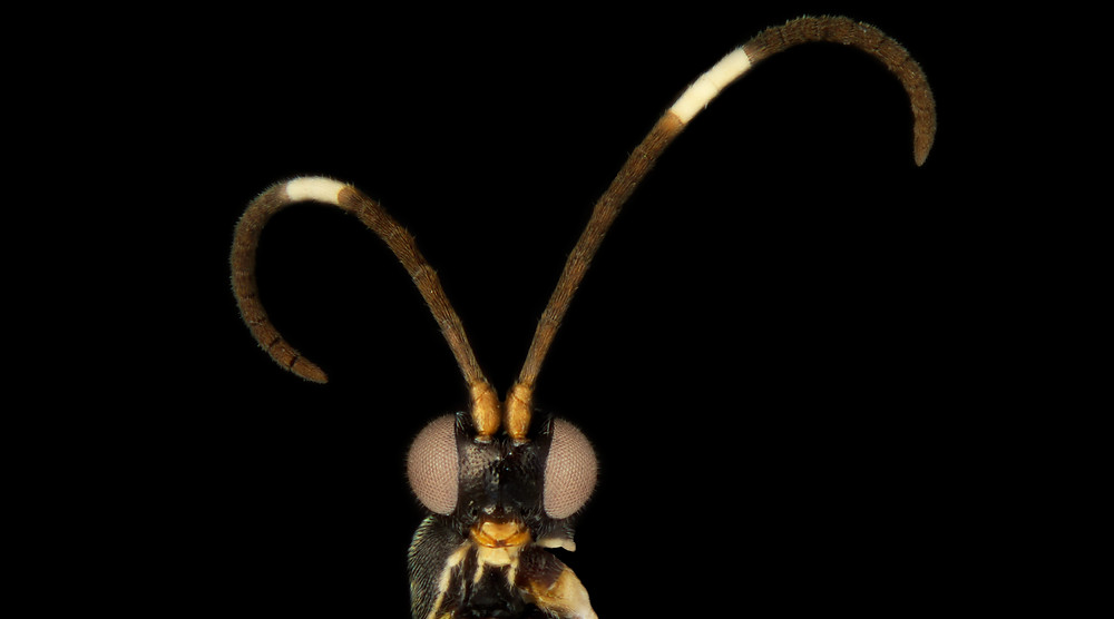Sathon oreo, one of the new species of parasitoid wasp
