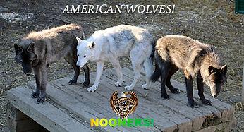 AmericanWolvesB.jpg