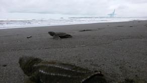 El exitoso programa de conservación de tortugas marinas en Moín.