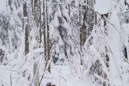 snowforest_cold_white_Schnee_Tannen.jpg