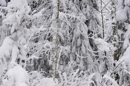 snowforest_Maerchen_Weiss_Wald.jpg