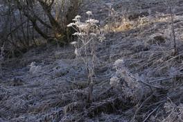 Juraglitzer-frostyflowers-morninglight.j