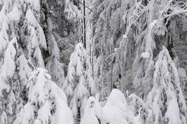 snwoforest_Eis_Tannenwald.jpg