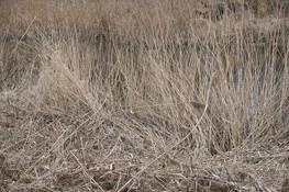 Schilf-reed-wild-Gold.jpg