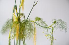 Fenchel-fennel-Balance-Zen.jpg