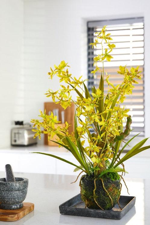 Oncidium Orchidee