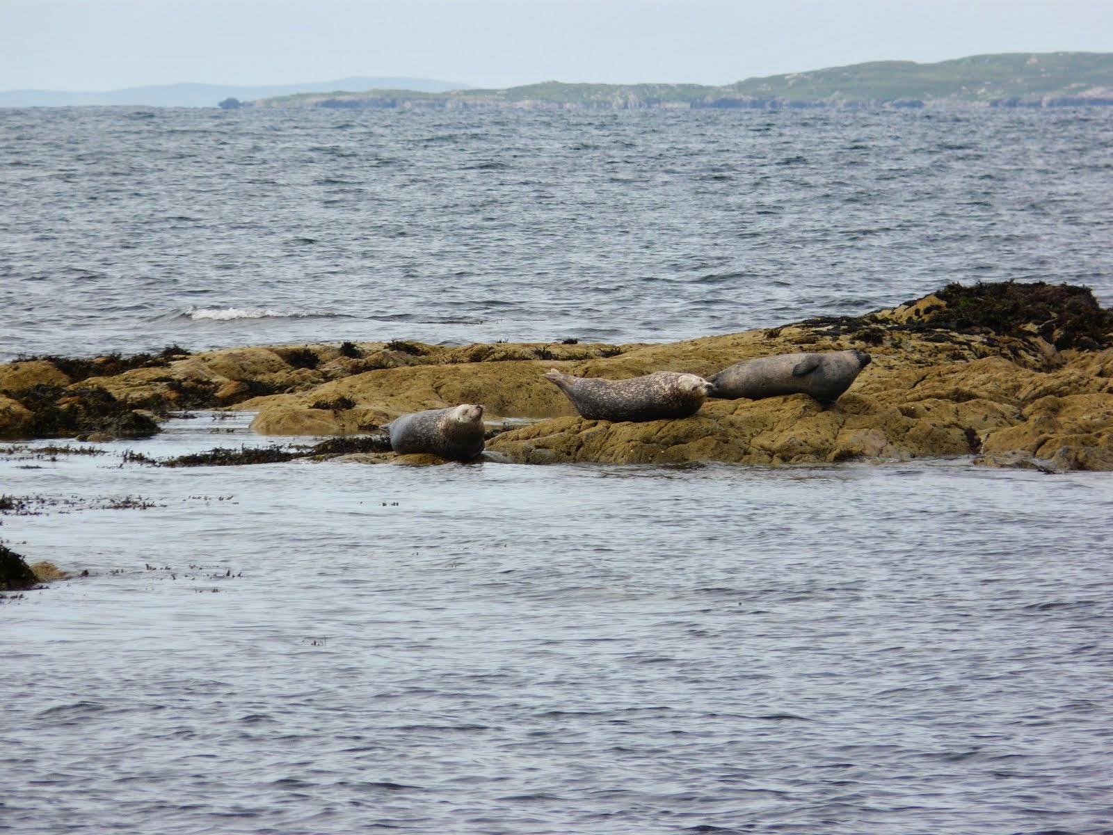 Phoques Irlande